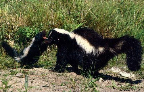 Skunks Wildlife Relief Llc